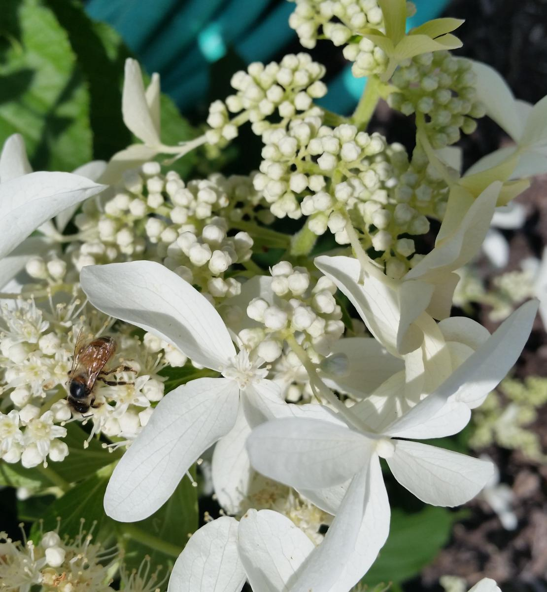 Honey bee on Hydrangea paniculata 'Great Star' with elongated petals