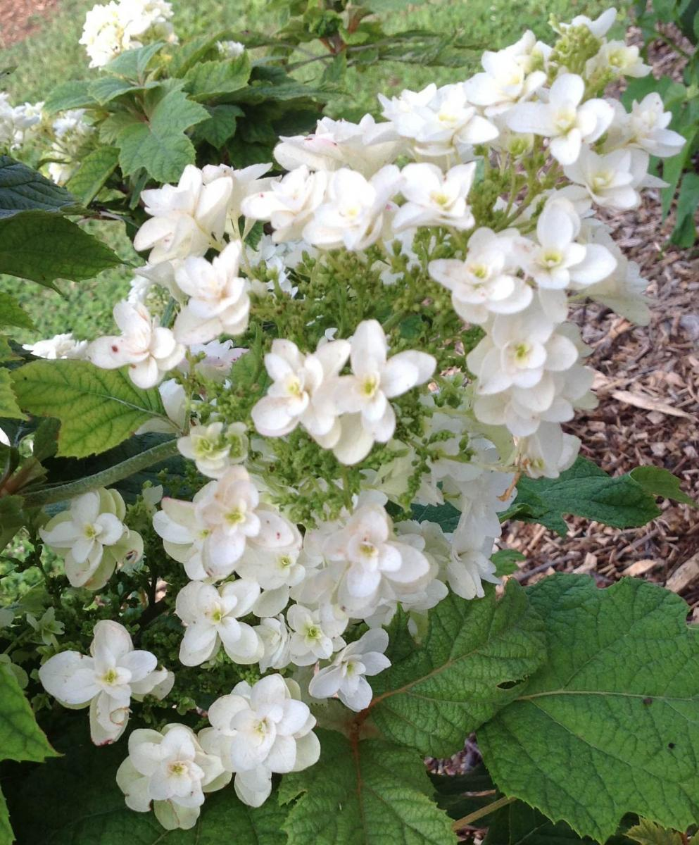 Hydrangea quercifolia 'Snowflake' in early bloom