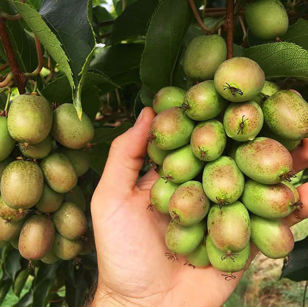 Cluster of green-brown ripening hardy kiwis on the plant show in someone's hand.