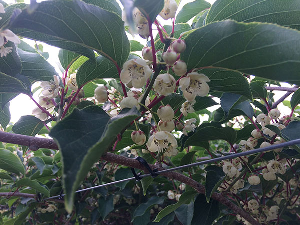 Kiwi plant with green leaves showing white blossoms.