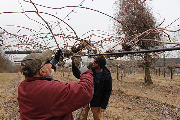 Two workers shown pruning a dormant kiwi plant.