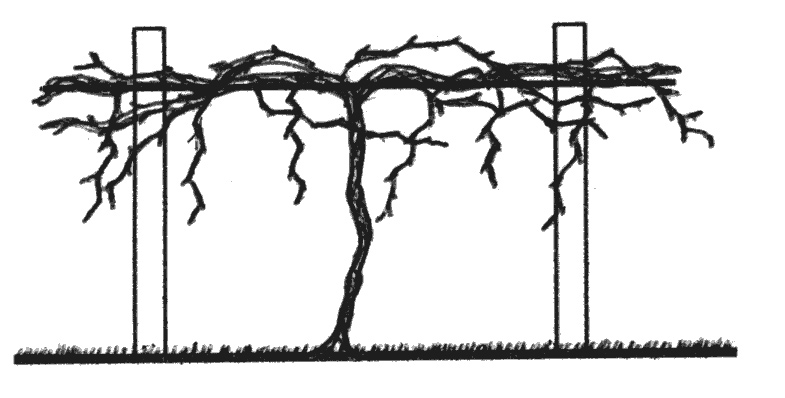 Basic Principles Of Pruning Backyard Grapevines Ohioline