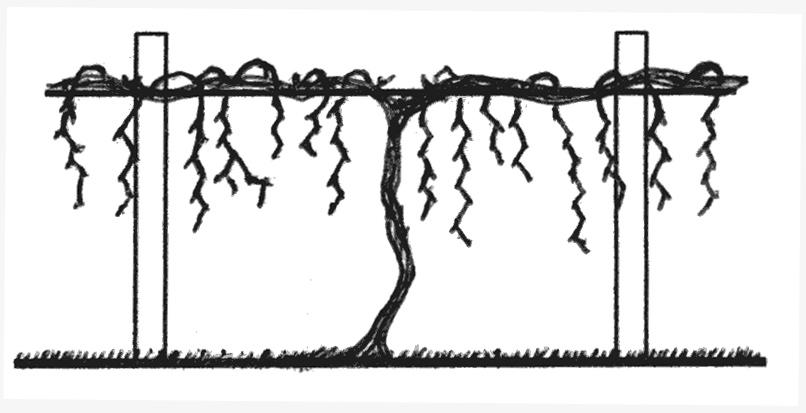 Basic Principles Of Pruning Backyard Grapevines Ohioline