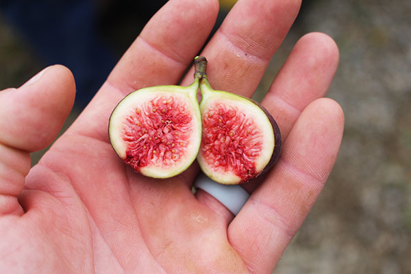 A Hardy Chicago fruit cut open showing the reddish flesh held in someone's hand.