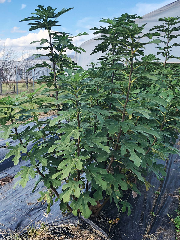 A fig plant shown planted outside in a raised bed with black landscape fabric underneath it.