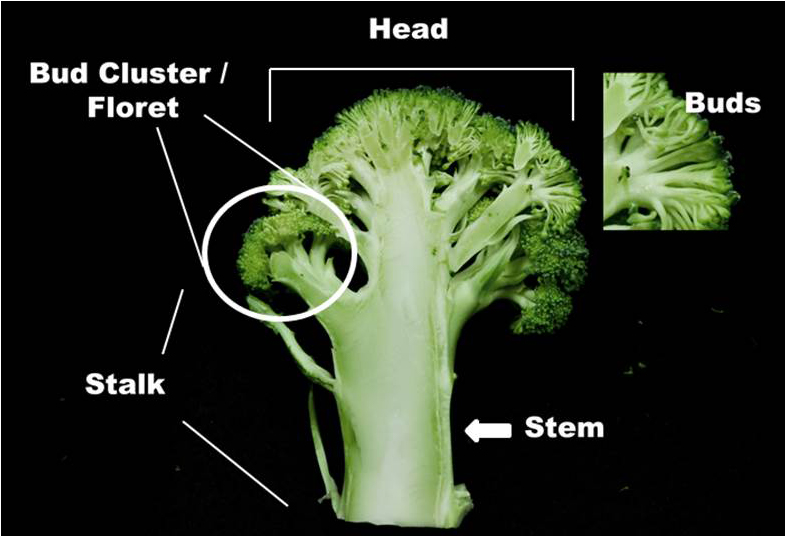 growing broccoli in the home garden ohioline