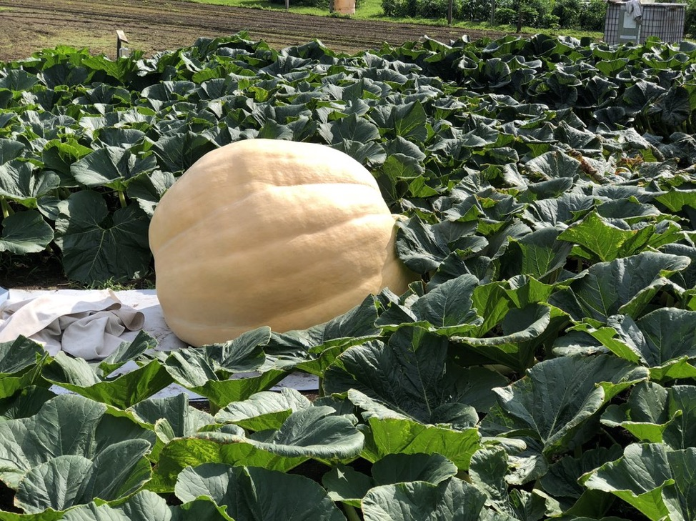 Growing pumpkin in field surrounded with vines and white plastic underneath.