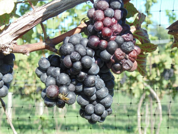 A cluster of red grapes with brick-colored, shriveled spots on them, hanging from a vine.