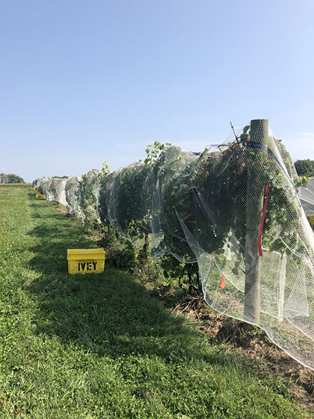 A long row of grape vines sits in a field of grass with a blue sky above. The grapes and vines are covered from top to bottom with white netting.