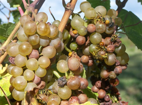 About ten yellow jackets sit and feed on a cluster of grapes that have the tannish, shriveled appearance of sour rot.