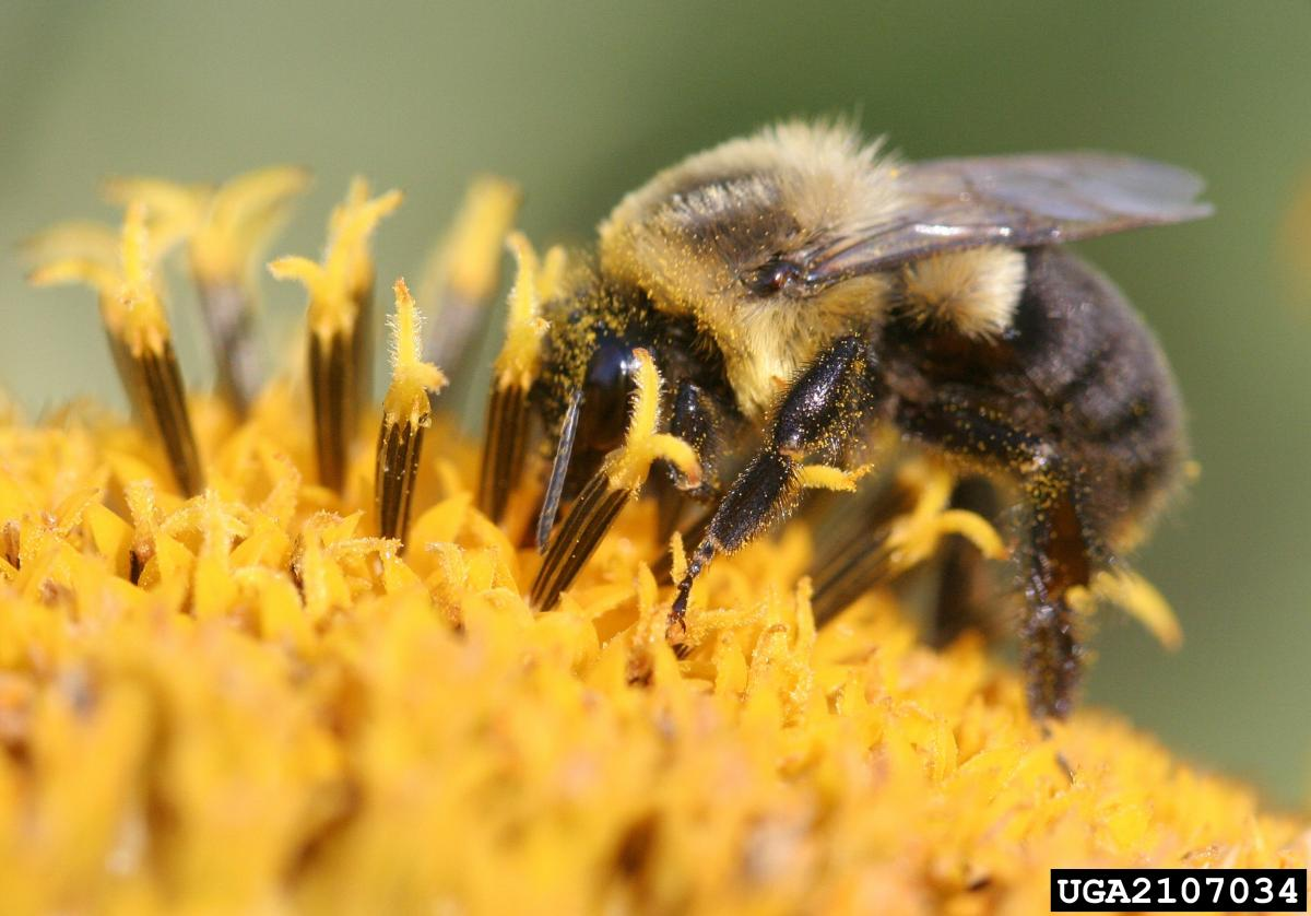 pollinator quick guide what you can do to help bumble bees ohioline