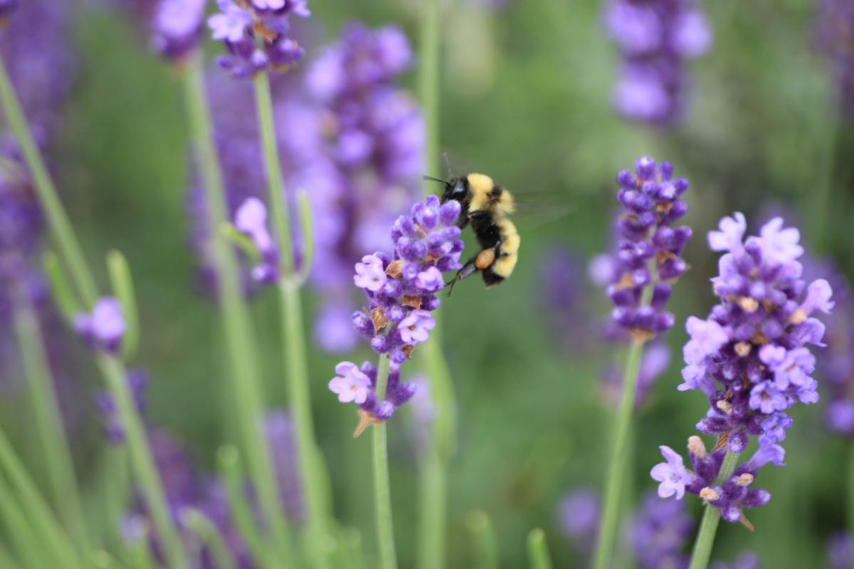 Pollinator Quick Guide: What You Can Do to Help Bumble ...