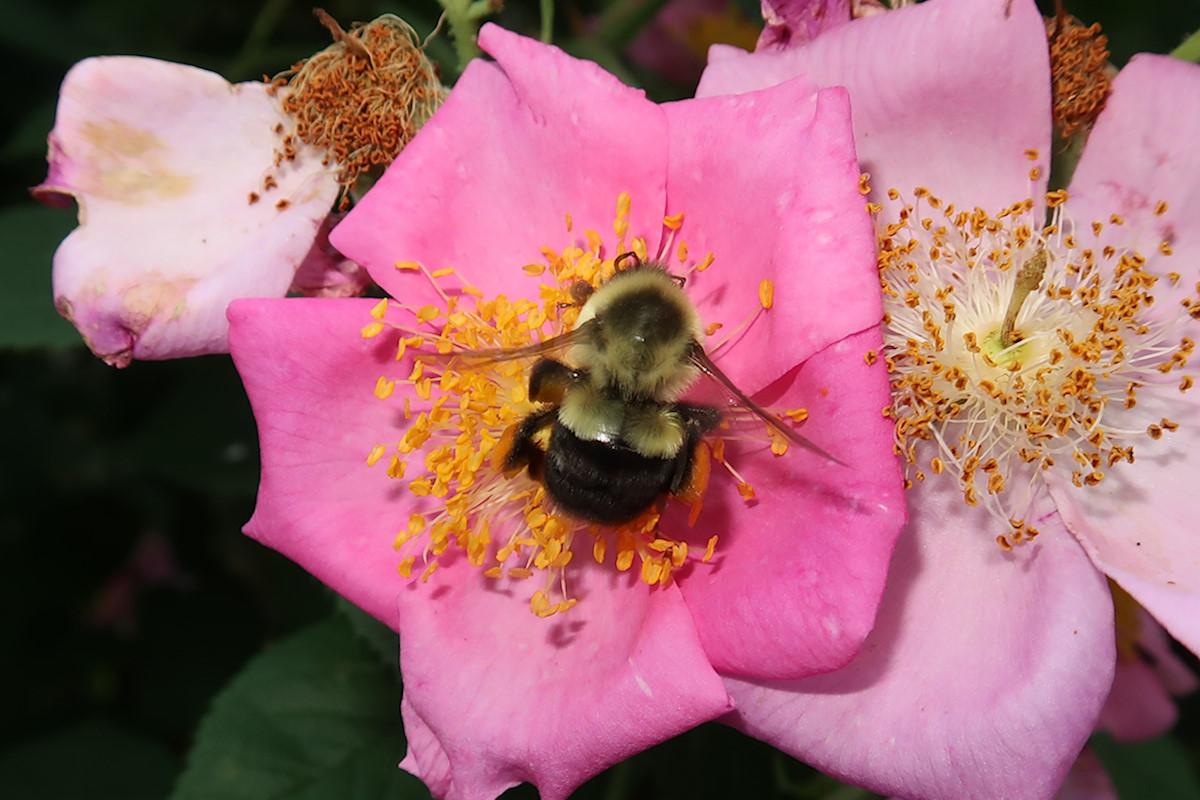 Pink impatiens flower with bumble bee center