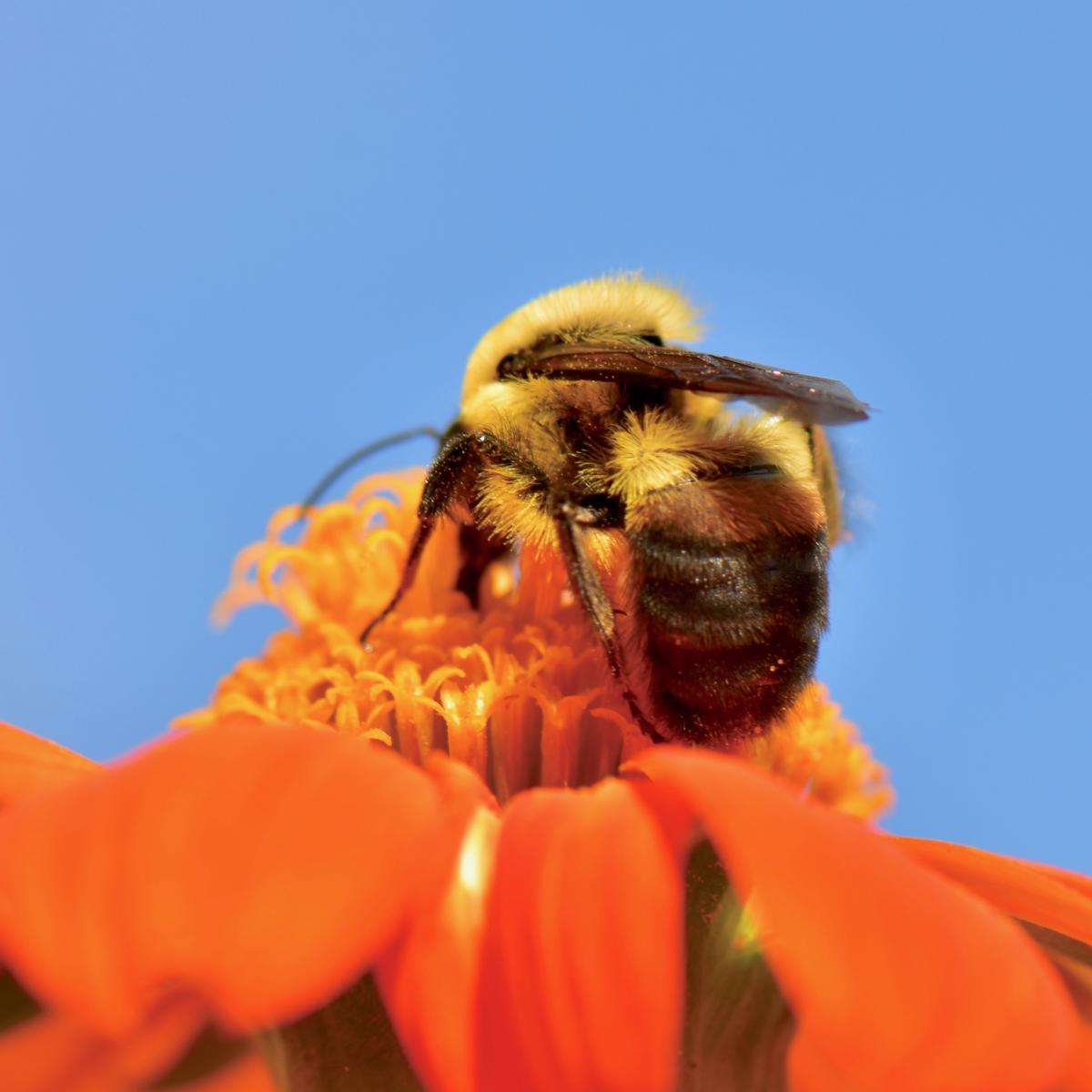 Bumble bee on orange flower