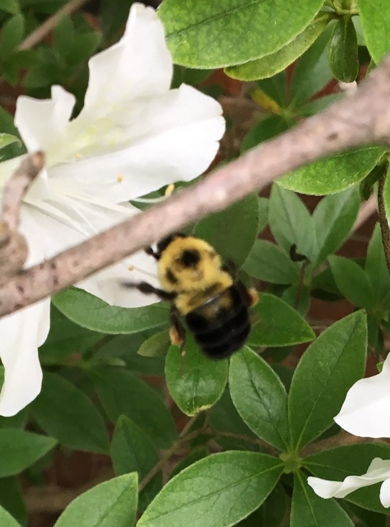 "Bumble bee on white flower with faint yellow ""w"" on black abdomen"