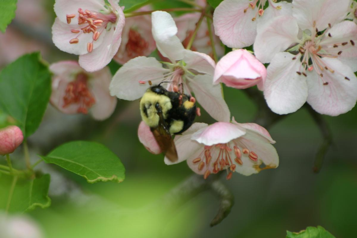Bumble bee queen clinging to white and pink flowers