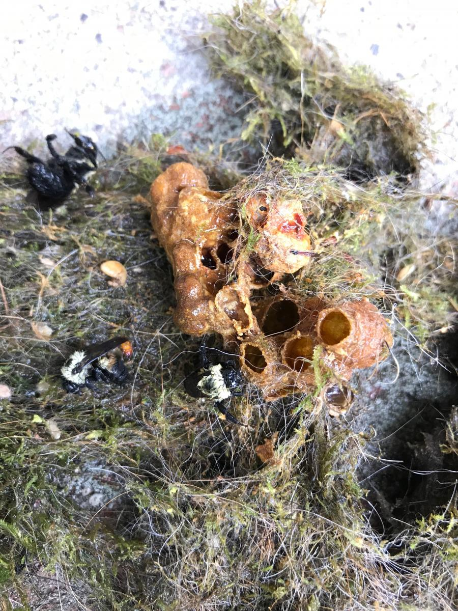 Old nest removed from chickadee nest box