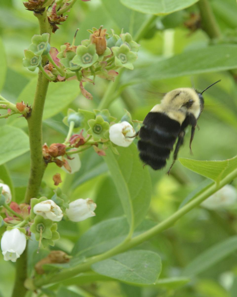 Bumble bee on blueberry plant