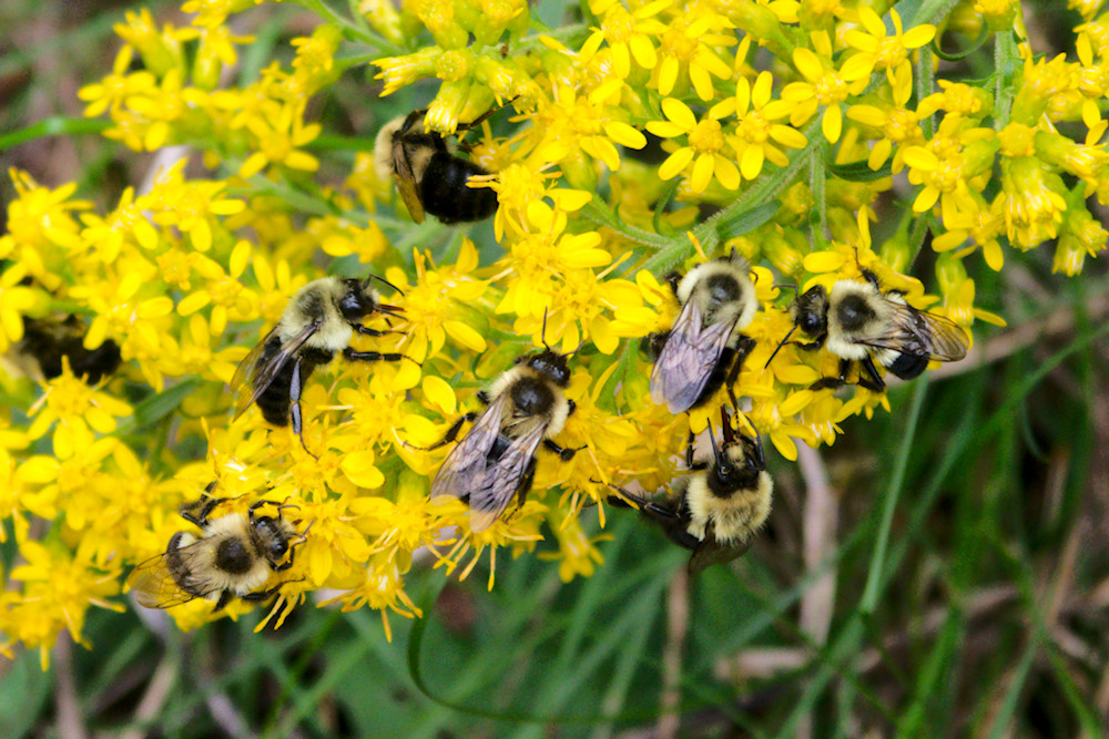 Bumble bees gather on goldenrod