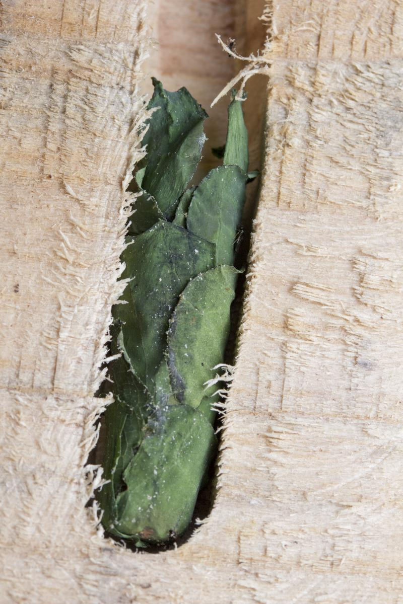 Nest of a leafcutting bee with leaves padding the cavity
