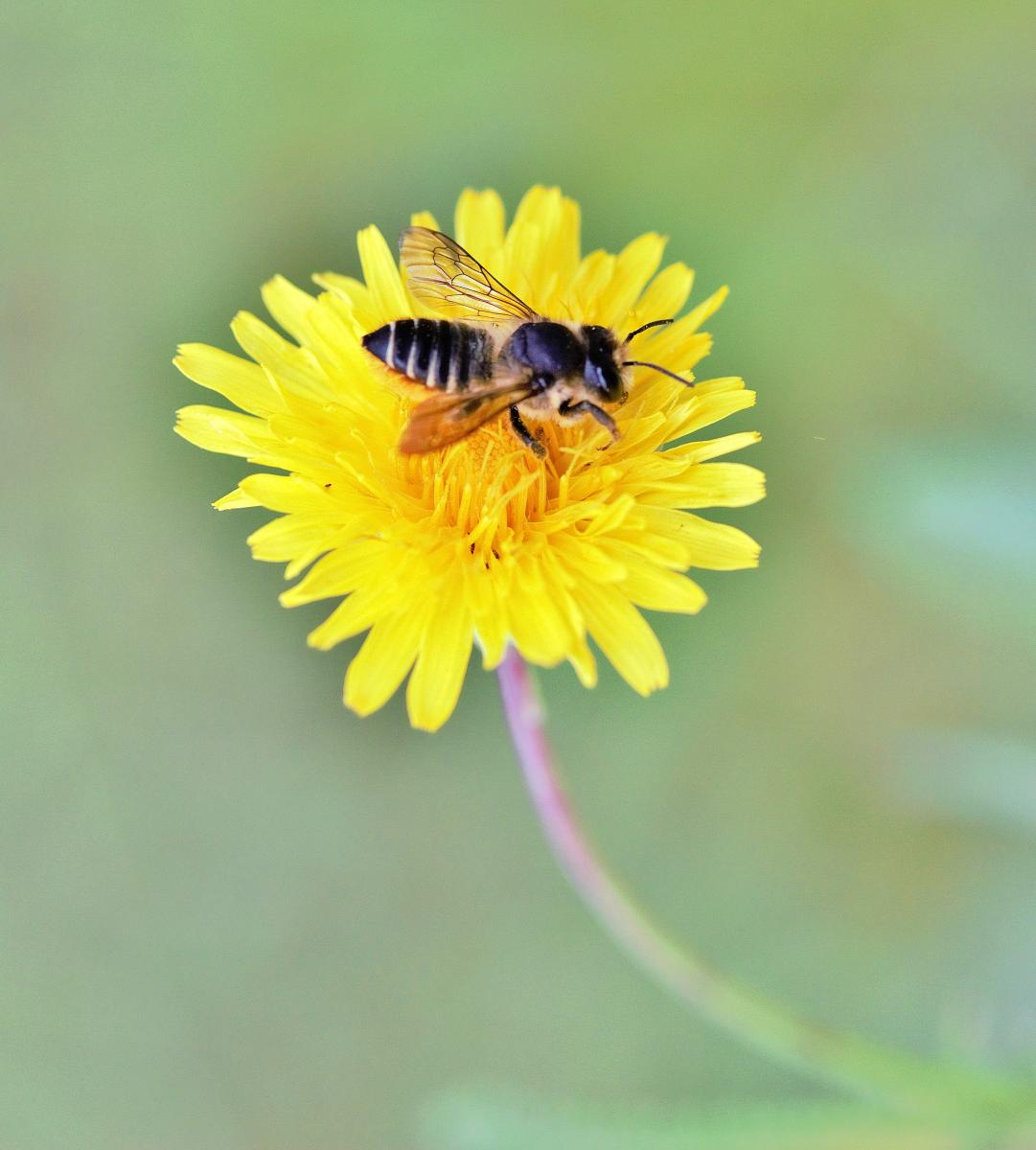 Female leafcutting bee on a yellow dandelion flower