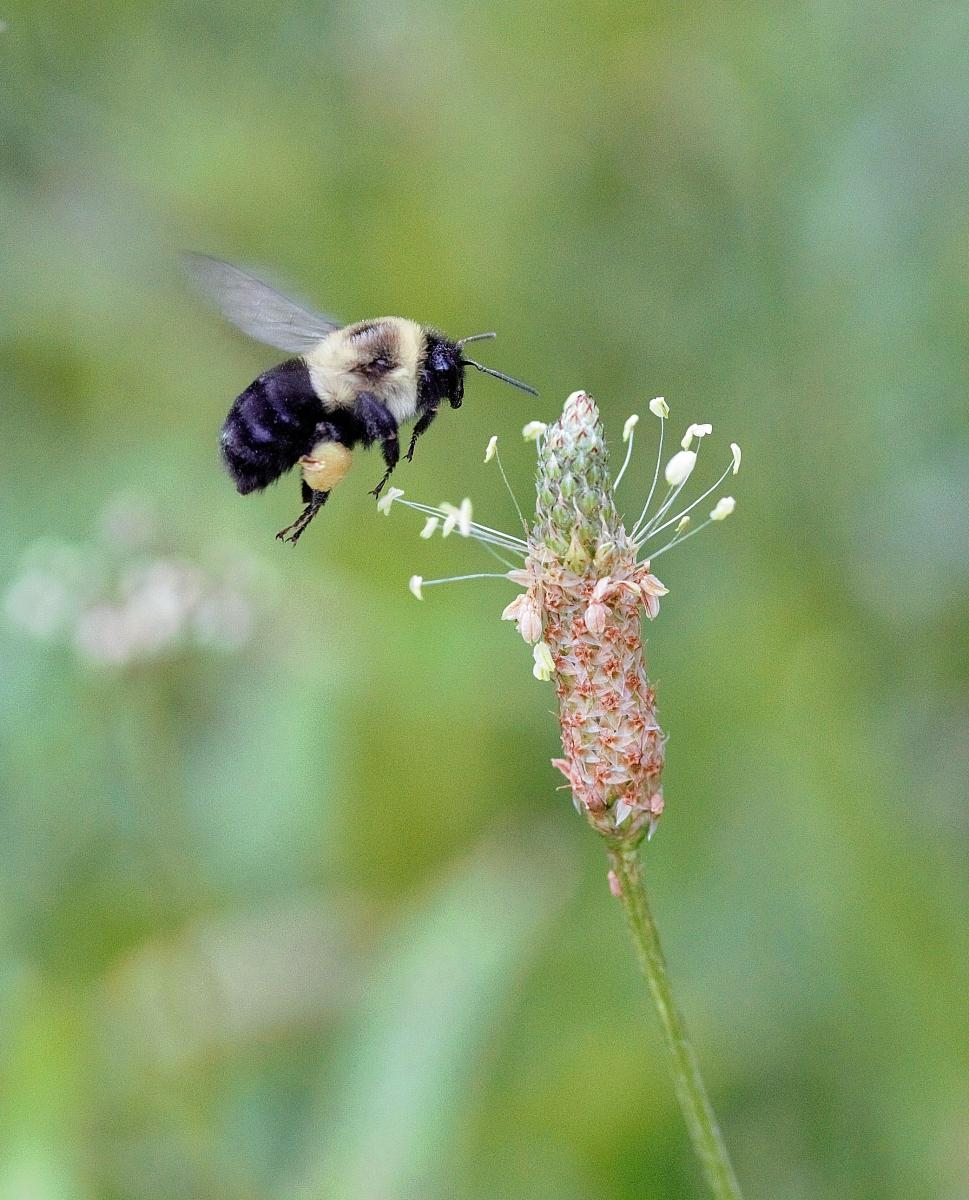 Bumble bee hovering over a flower