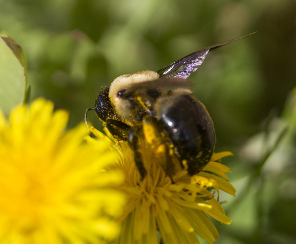 Carpenter bee on a dandelion flower