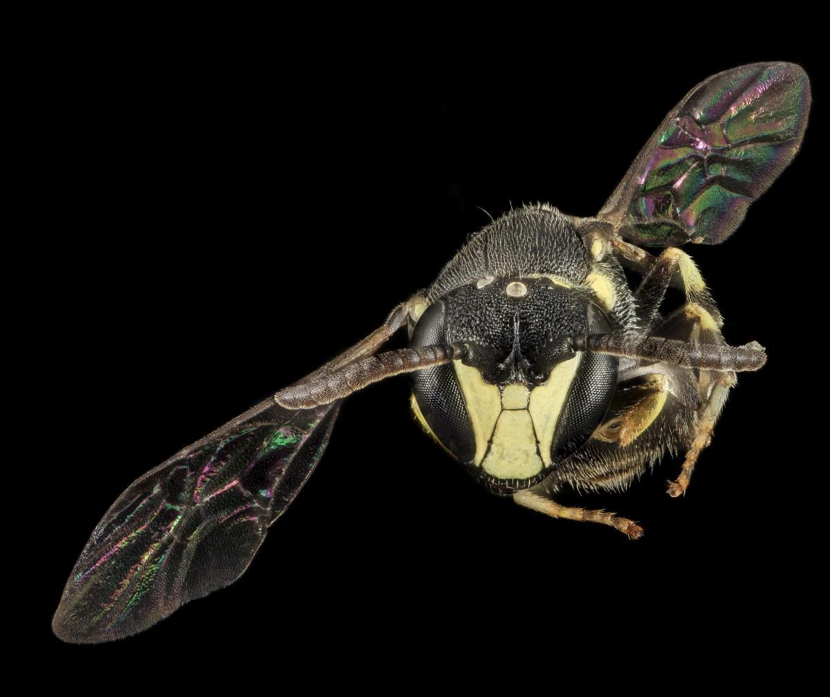Male masket bee in flight