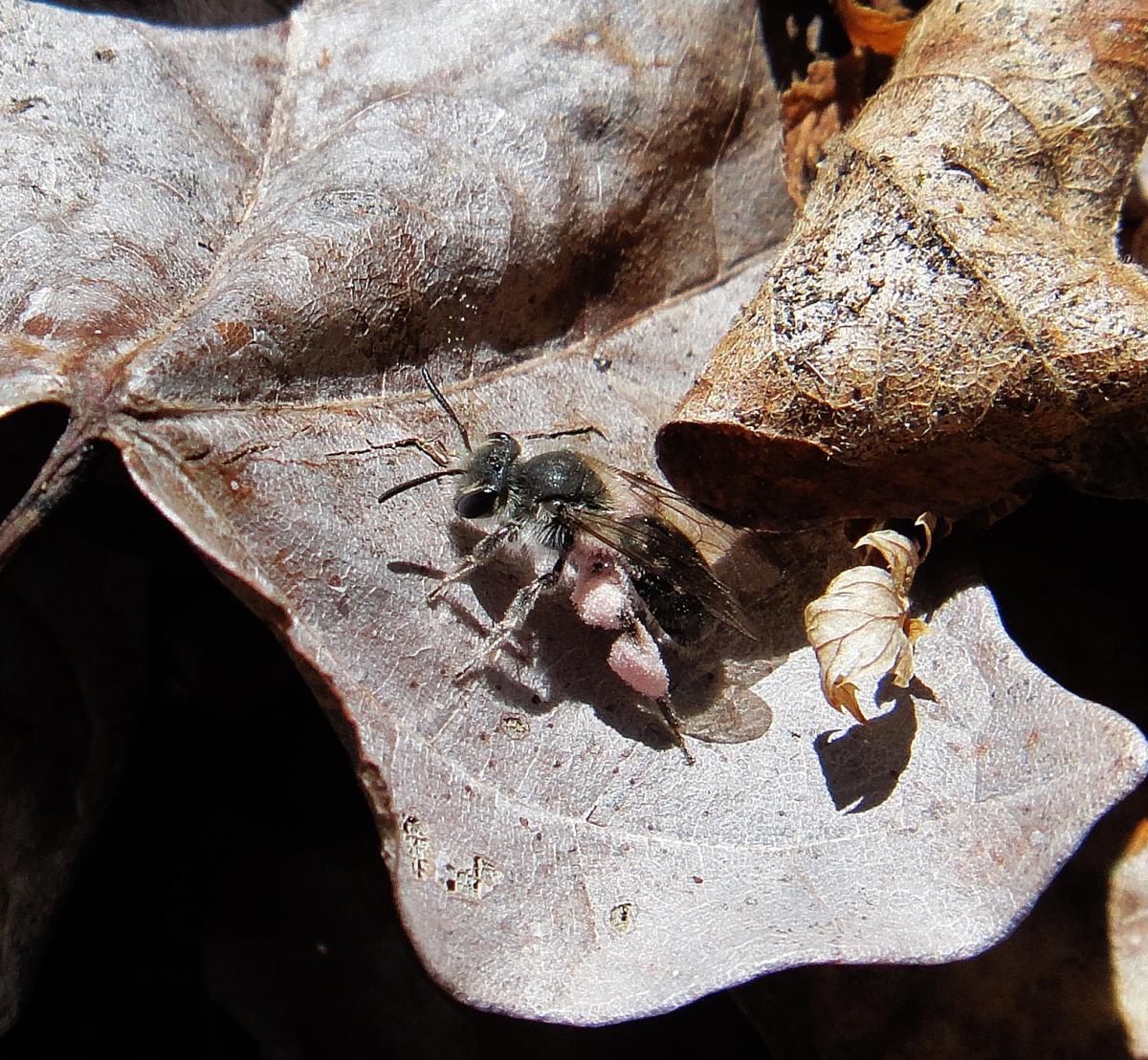 Hairy armpits on a mining bee