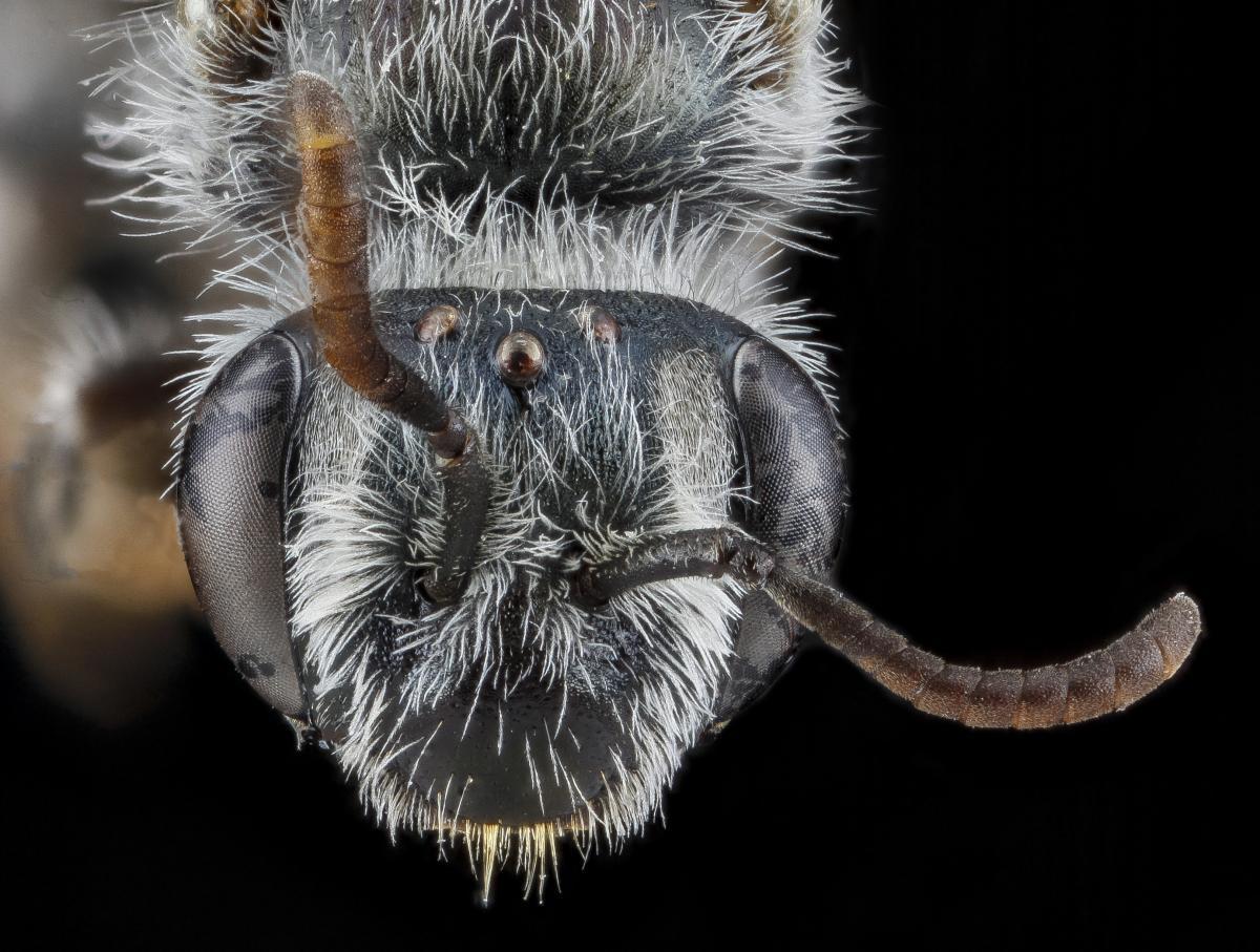 Facial fovia on a mining bee