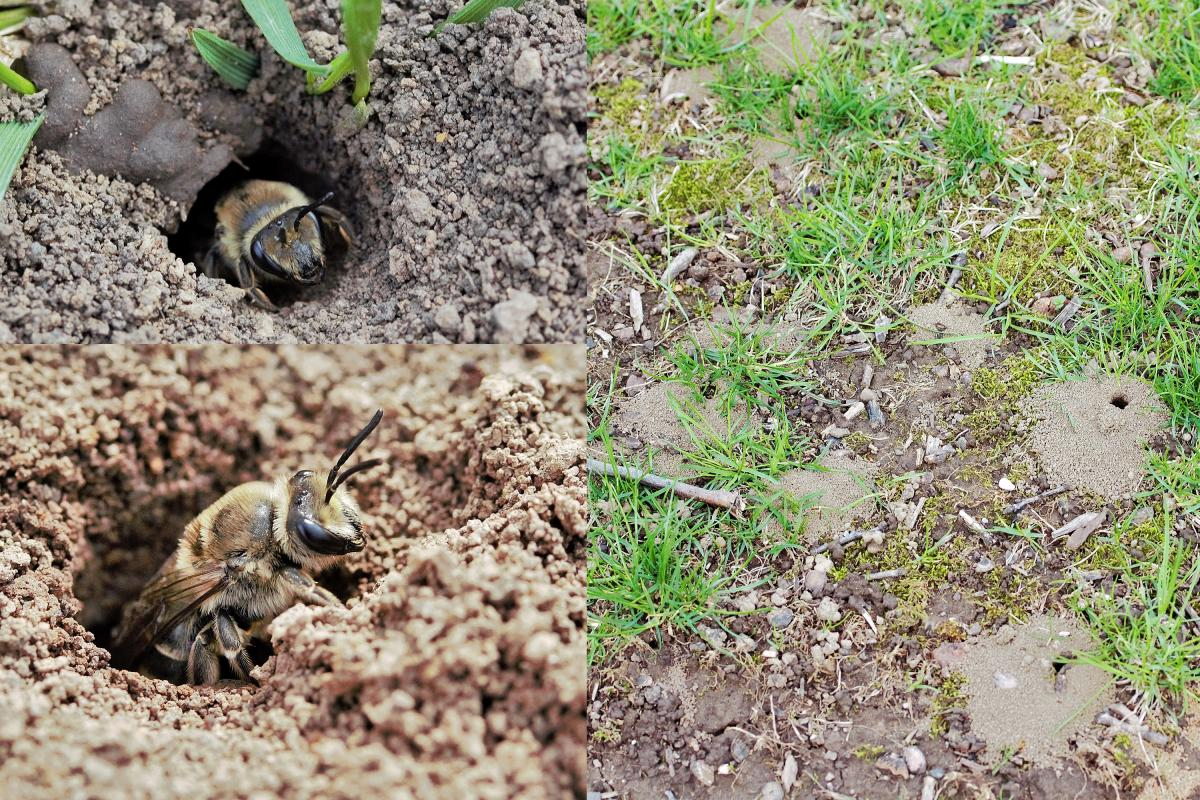 Ground nesting bees