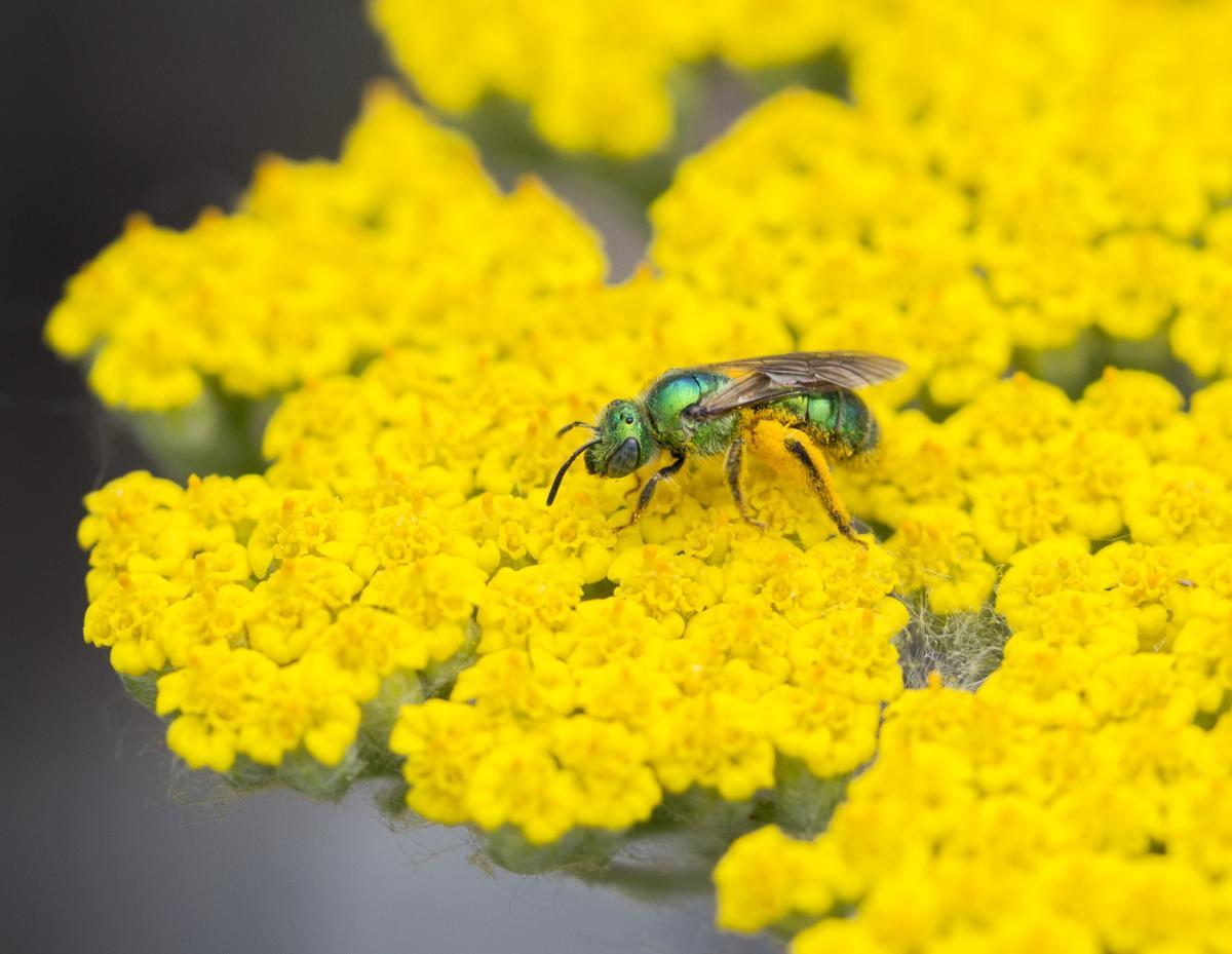 Racecar bee on a yellow flower