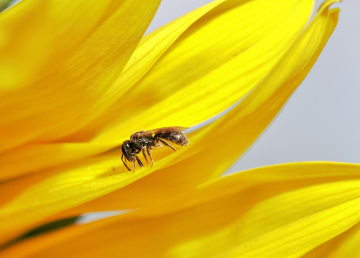 Dull green sweat bee on a yellow flower
