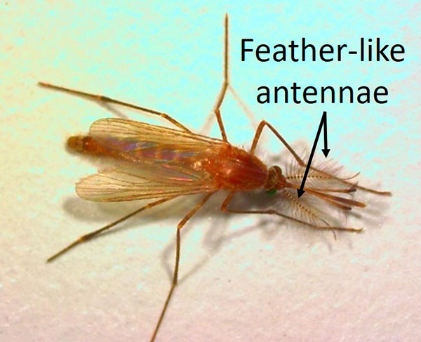 Closeup of mosquito with feather-like antennae.