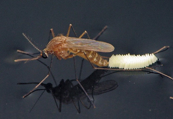 A mosquito on the water's surface laying a raft of small, slightly pointed, white eggs behind it.