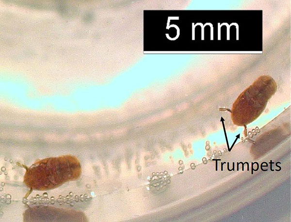 Small, brownish, oval figure less than 5 millimeters long with two short, tube-like parts extending from the thorax.