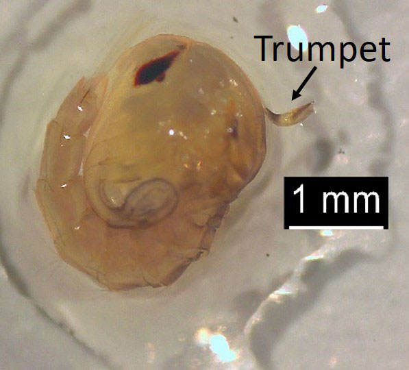 Small, tan, oval figure approximately 2 millimeters wide and 3 millimeters long with a single, short, tube-like part extending from the thorax.