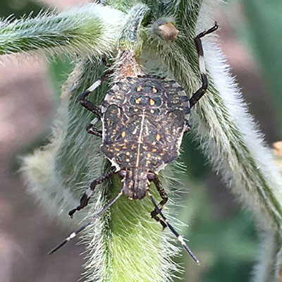 A shield-shaped bug about half as big as the adult bug in Figure 1 sits on a plant stem. It has six legs and two antennae
