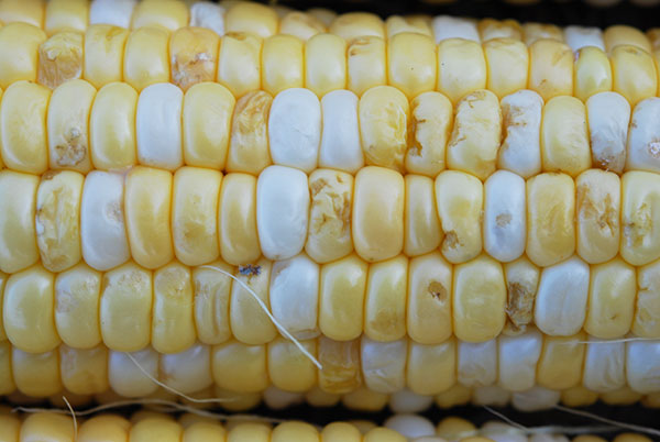 A white and yellow ear of corn with pitted indentations on half of the kernels.