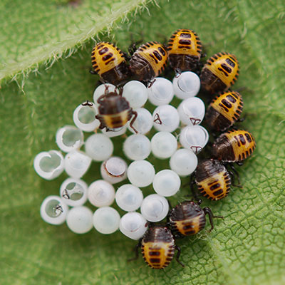 Eight small, brown-and-yellow-colored bugs emerge from 28 small, round, white eggs sitting on a leaf.