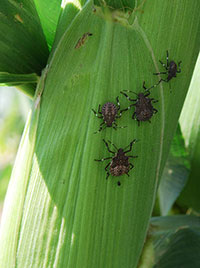 Four small bugs, each with six legs and two antennae, sit on a green corn husk.