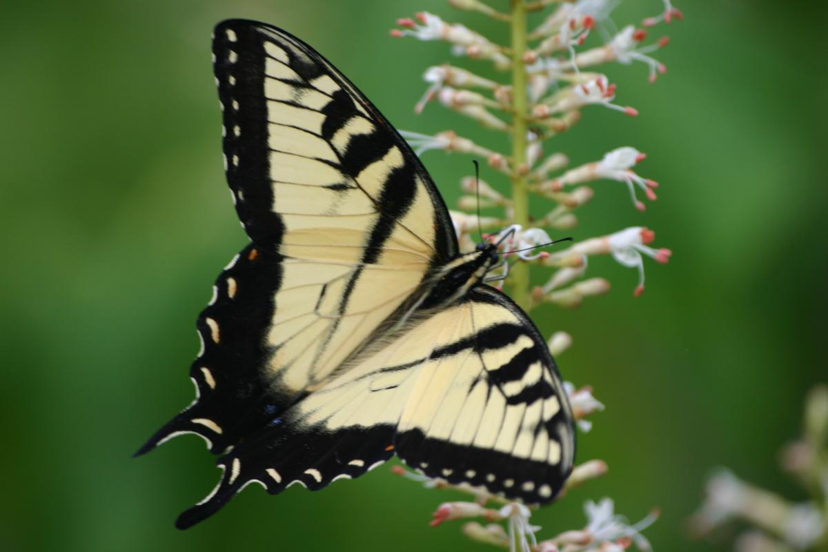 Swallowtail Butterfly Drinks Nectar From Bottlebrush Buckeye Flowers.