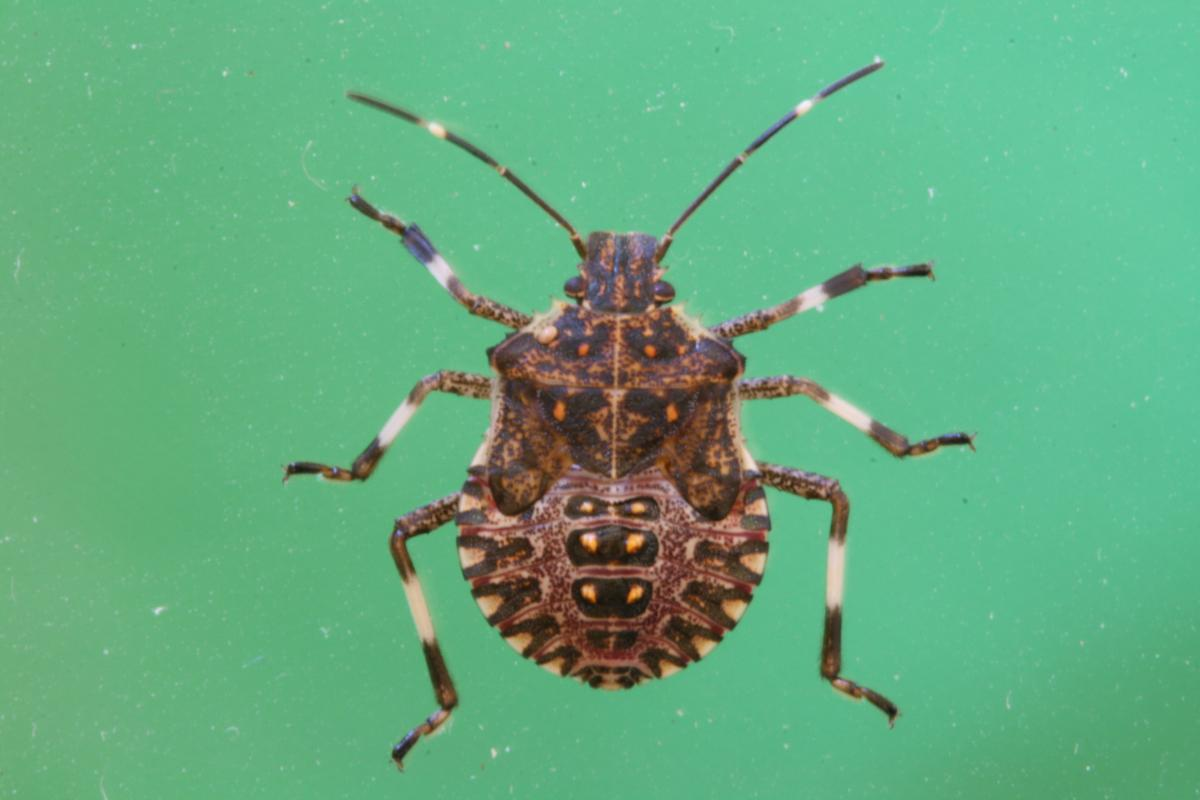 Adult brown marmorated stink bug. Stink Bugs on Soybeans and Other Field Crops   Ohioline
