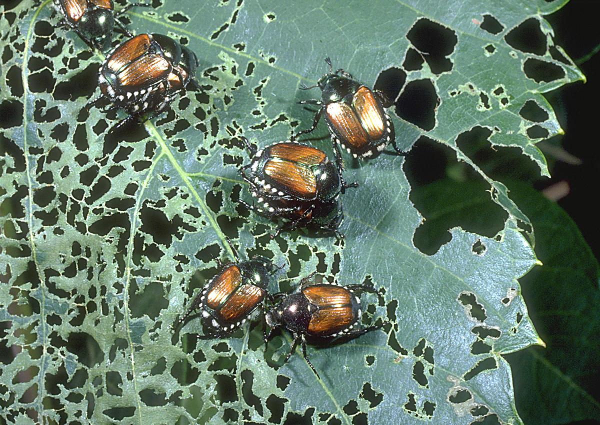 Common Insects and Associated Pests Attacking Bedding Plants