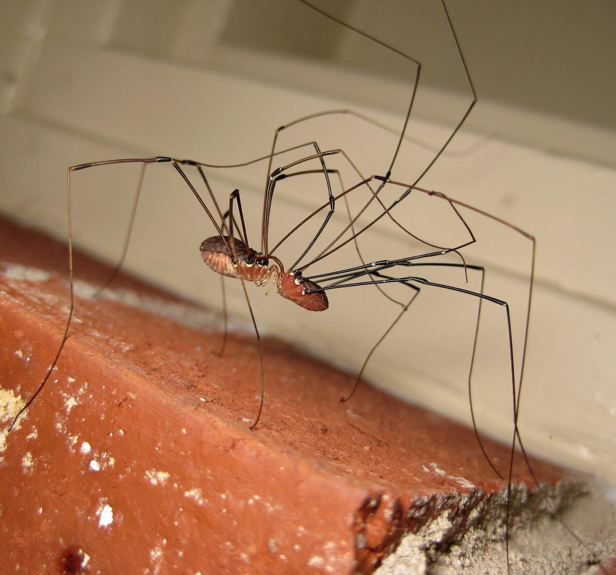 Ohio S Natural Enemies Harvestmen Also Known As Daddy
