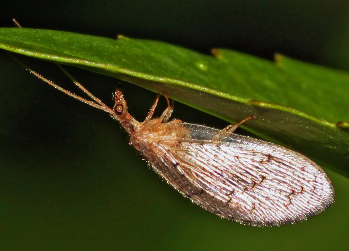 Ohio's Natural Enemies: Lacewings   Ohioline
