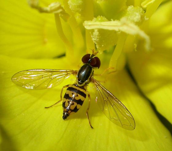 Ohio's Natural Enemies: Hover Flies | Ohioline
