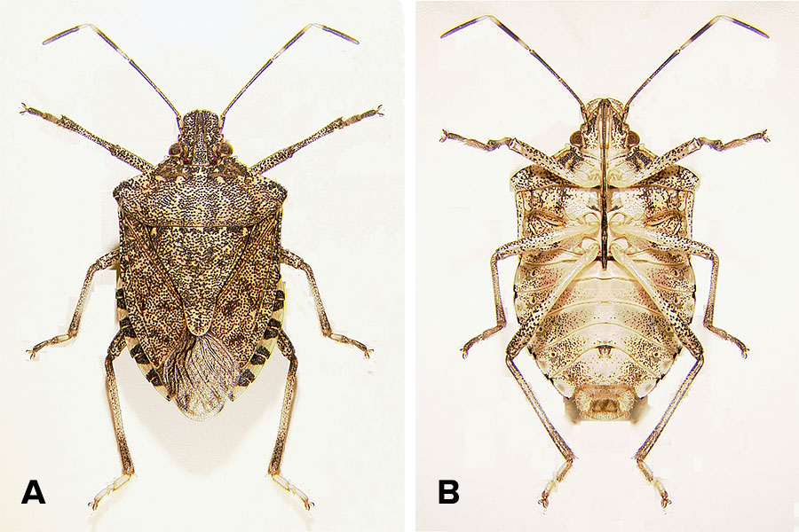 Six legs and two antennae emerge from two views of a shield-shaped bug with multi-shaded brown coloring.