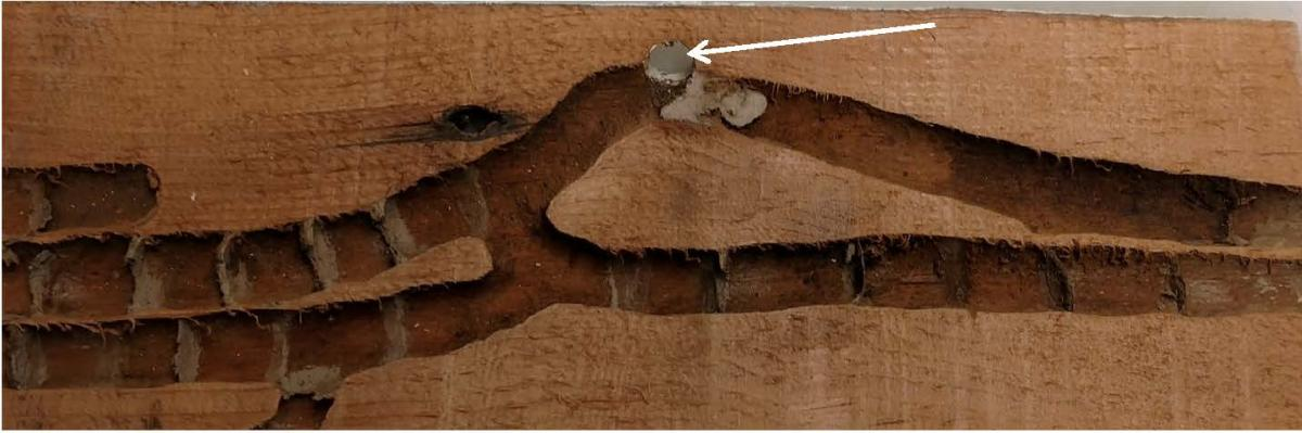 Numerous Nest Galleries In Wood With Arrow Pointing To Entrance Hole Contain The Remnants Of Pulp Separating Each Brood Cell