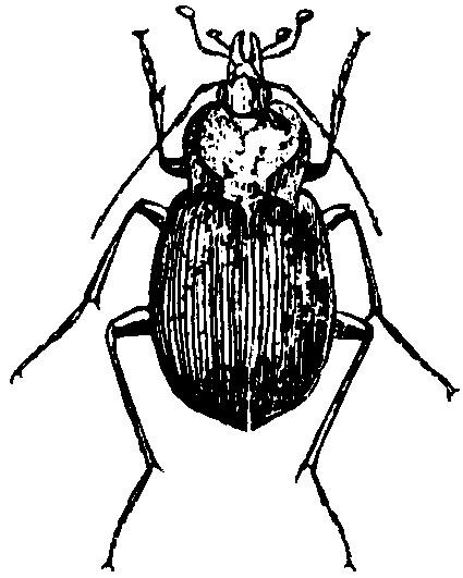 Ground Beetles   Ohioline